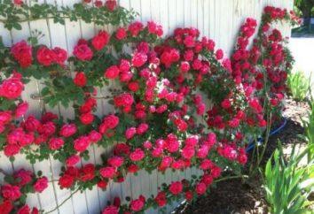 Noi cresciamo rose rampicanti. Preparazione per l'inverno