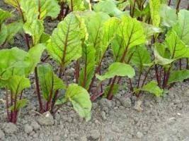 I segreti di giardinaggio: impianto di barbabietola