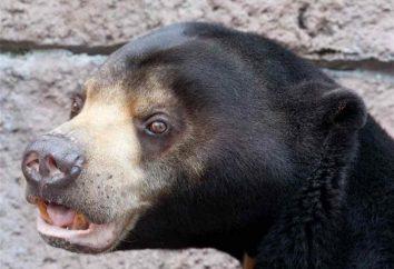 ours malais – biruang. ours malais – les espèces les plus rares