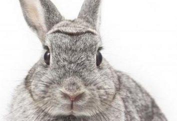 El embarazo en conejos: ¿Cuánto tiempo, la atención particular y la determinación de la expresión