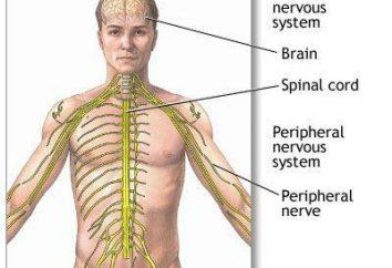 Les principaux types du système nerveux humain