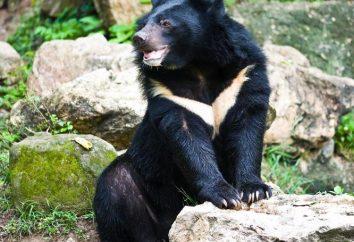 Black Bear: opis, siedlisko i odżywianie