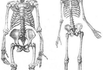 Squelette de la personne des membres inférieurs: la structure et la fonction