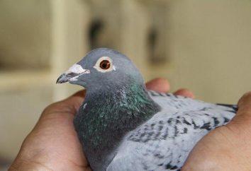 Pigeons sportifs: l'entretien, les soins