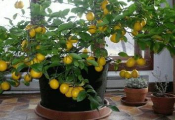 limonero en el hogar: Cuidado en el invierno, las enfermedades, la cría, fotos