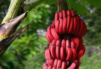 banane Red. frutta esotica dal Costa Rica