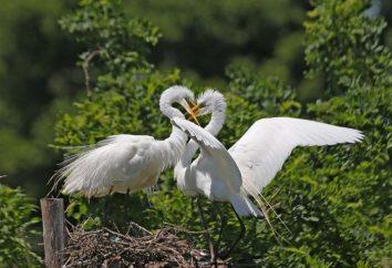 Jak ptaki stary? Charakterystyka układu rozrodczego