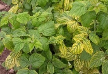 Pourquoi les feuilles jaunissent à la framboise? Les principales raisons
