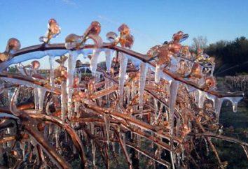 Porady ogrodnicy: jak schronienie winorośli na zimę