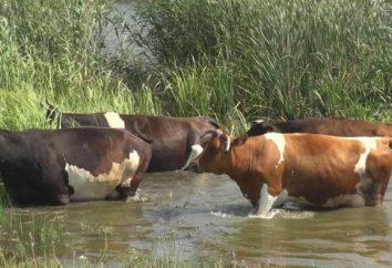 Les causes et les traitements pour les verrues sur la mamelle d'une vache