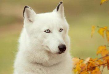 Czy białe Husky są? Biały Husky (foto)
