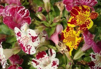 Amabili mimulyus – in crescita dal seme in modo efficiente e semplice