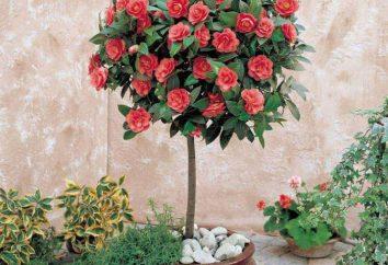 Kwitnący kwiat pokój: nazwa i zdjęcie