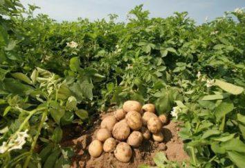 Pommes de terre hâtives Karatop: description de la variété, photo, avis