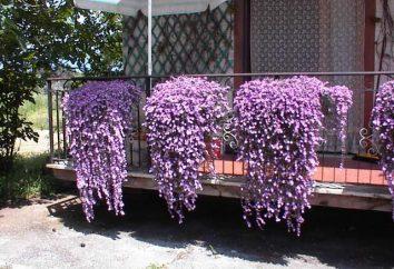 fiore riccio in casa e in giardino