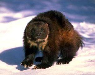 Dzika przyroda: wyjątkowe zwierzę – wolverine!