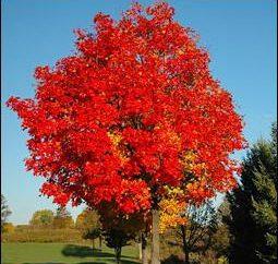 L'érable canadien est un arbre avec de nombreux rôles