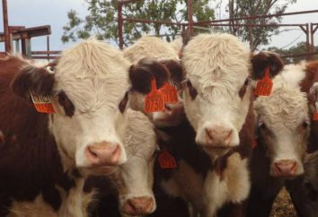 Kazakh vaches de race blanche: Caractéristiques, caractéristiques et commentaires