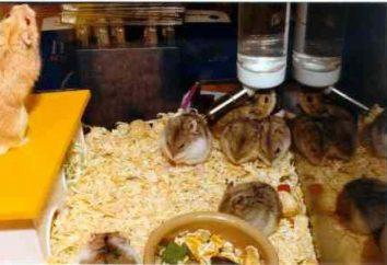 Hamster Jungar: élevage en captivité