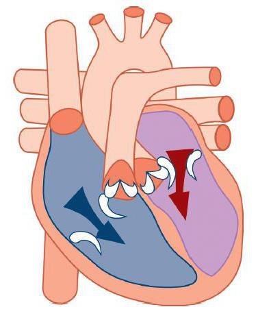 Eccezionale Camere del cuore umano: descrizione, struttura, funzioni e tipi SV63