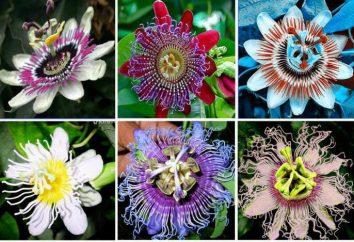 Passiflora commestibile: Caratteristiche di coltivazione e foto