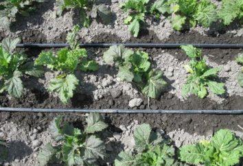 Escorrer sistema de irrigação com as próprias mãos. Como tornar-se irrigação por gotejamento?