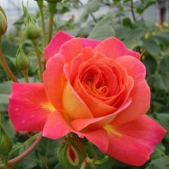 Midsummer Rose – Pride hodowca