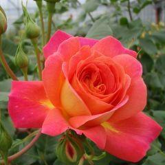 Rosa Midsummer – l'orgoglio del fiorista