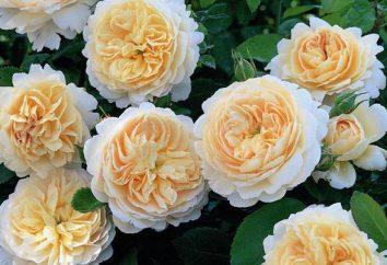 Rosa Crocus Rose: Opis i pielęgnacja