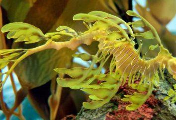 Leafy drago marino – abitanti interessanti del mondo sottomarino