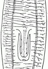 Rodzaj robaków płaskich, zwłaszcza zewnętrznej i wewnętrznej struktury