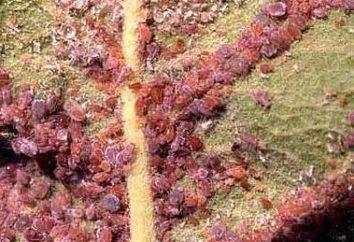 Bred Blattläuse auf Apfel. Wie man mit einem Schädling beschäftigen