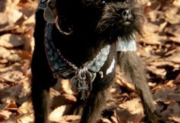 Belgijskie gryfy – wspaniały pies