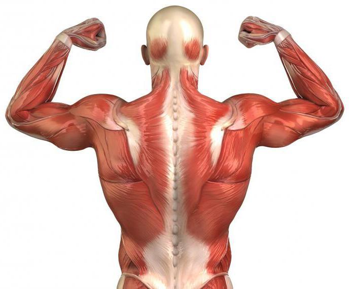 Muskeln des Rumpfes: Namen und Funktionen