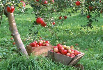 ulubiony jabłoń każdego z Melba