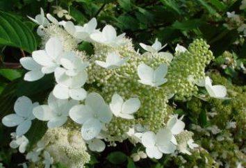 Uprawa krzewów ozdobnych: hydrangea Grandiflora paniculate