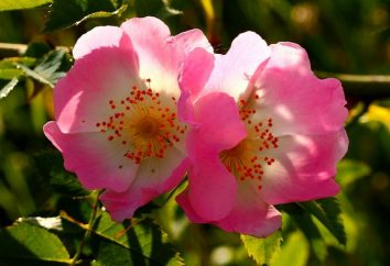 Napar z dzikiej róży: korzyści i szkód. Jak przygotować napar z biodra Rose?