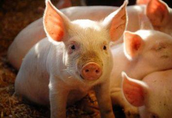 Prémélanges pour porcs – la base d'une croissance saine et le développement du museau rose