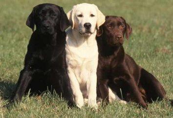 chiens Labrador: caractéristiques de la race et Pet Care