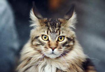Większość dużych kotów: rasa Savannah i Maine Coon