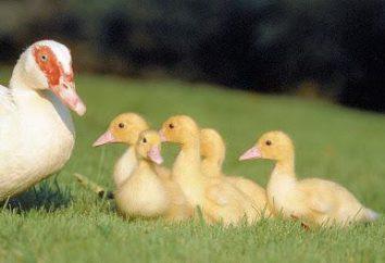 La culture de la viande de canard à la maison: instructions pour la construction d'une entreprise