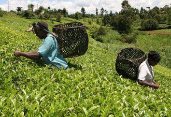 Queniano chá: história e características da bebida