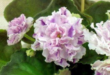 Ajsedora (violeta) características de cuidado