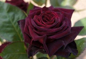 Nero Baccarat – una rosa con una tonalità unica