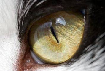 Le lacrime di un occhio di un gatto: le cause e le caratteristiche di trattamento
