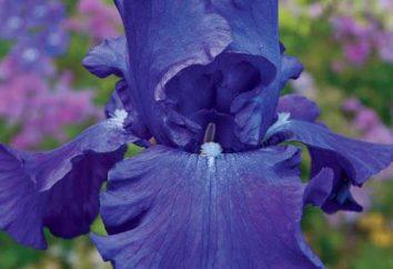 Come far crescere iridi blu. varietà di iris