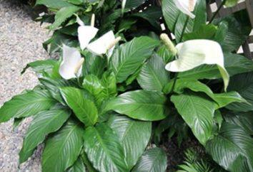 Spathiphyllum – Blume des weiblichen Glücks