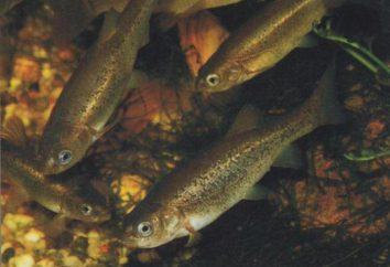 minnow Fish ordinario (minnow-belladonna): descripción, distribución