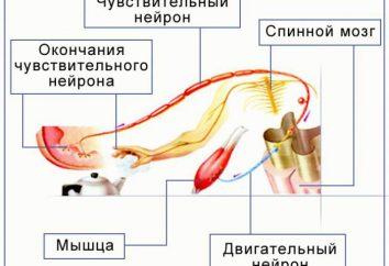Struktura reflex łuku. Odruch pierścień. Fizjologia układu nerwowego