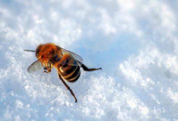 Quand mettre des abeilles hors de la cabane hivernale? Les dates de l'exposition des abeilles de la cabane d'hiver au printemps